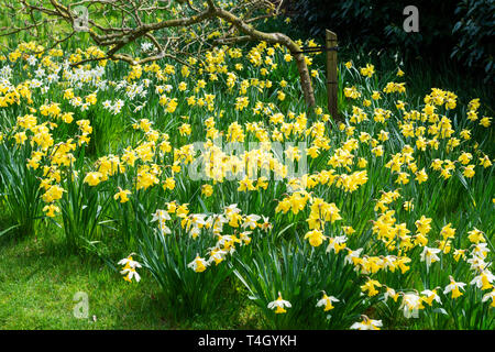 Daffodils in garden at Belsay Hall, an early 19th Century mansion house, in Northumberland, England, UK - Stock Image