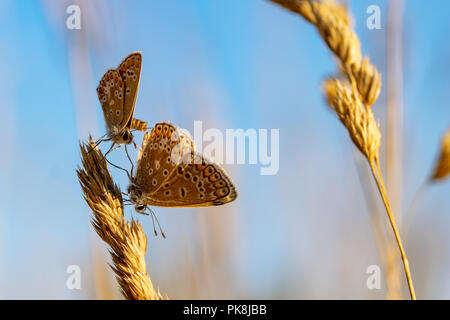 Mating pair of Common Blue Butterflies (poyommatus icarus) - Stock Image