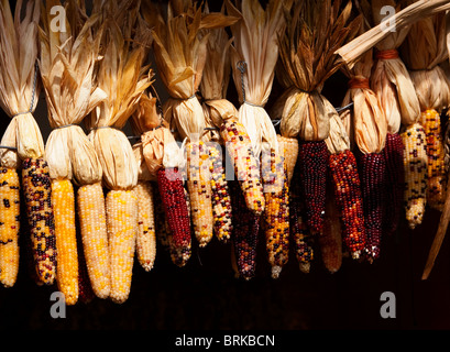 Indian dry corn hanging from feed shed - Stock Image