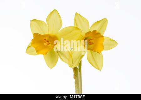 Miniature Daffodil - Stock Image
