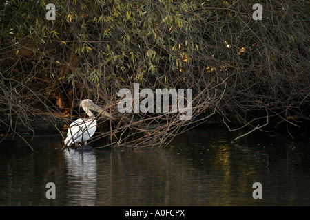 Eastern White Pelican (Pelecanus onocrotalus) also known as Great White Pelican Roseate Pelican European White Pelican - Stock Image