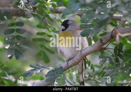 Lawrence's goldfinch (Spinus lawrencei, Carduelis lawrencei), native to California and Northern Mexico - Stock Image