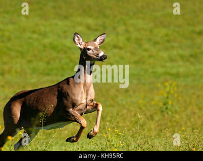 White-tailed deer in mid-flight near Sussex, Kings County, New Brunswick, Canada. - Stock Image