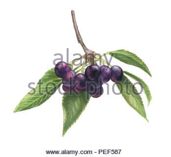 dollesplitter cherry - Stock Image
