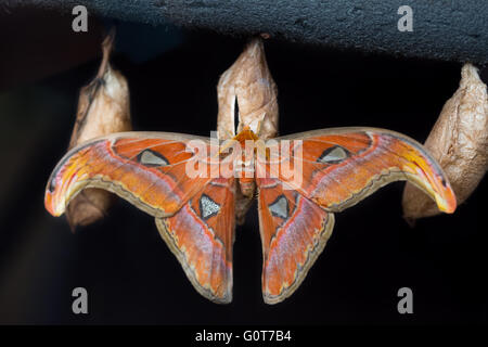 A giant moth emerging from its cocoon - Stock Image