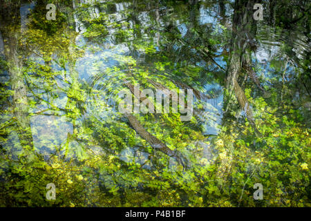 Alligator Gar fish Atractosteus spatula, Everglades National Park, Miami, Florida, USA - Stock Image