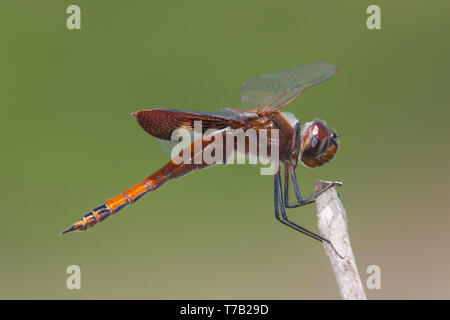 A juvenile male Carolina Saddlebags (Tramea carolina) Dragonfly perches on the tip of vegetation. - Stock Image