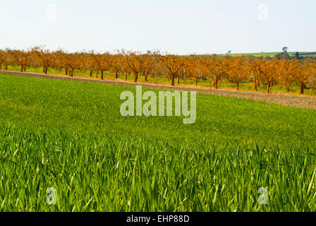 Olive grove, Apulia, Italy - Stock Image