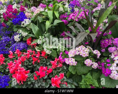 Garden bed of flowering cinerarias and cyclamens plants - Stock Image