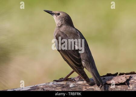 Detailed close-up rear view of wild, juvenile, British starling bird (Sturnus vulgaris) isolated in UK outdoor habitat, perching on log. - Stock Image