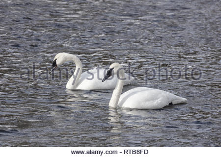 A pair of Trumpeter Swans swim together on the Firehole River in winter at Yellowstone National Park, Wyoming. - Stock Image