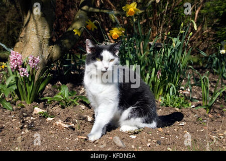 black and white tom cat sitting in garden among daffodils and hyacinths - Stock Image
