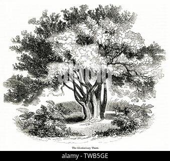 Hawthorn tree (Glastonbury Thorn).      Date: 1842 - Stock Image