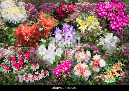 A composite photo or montage showing a range of flowering rhododendrons, England, UK - Stock Image