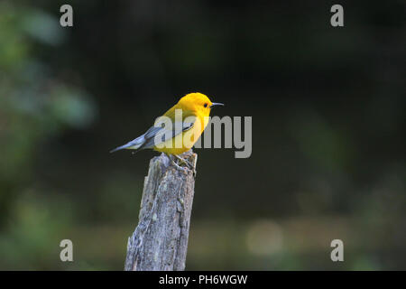 Portrait of a prothonotary warbler. - Stock Image