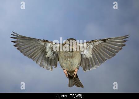 Hausspatz, Weibchen, Flug, fliegend, Flugbild, Haus-Spatz, Spatz, Haussperling, Haus-Sperling, Spatzen, Passer domesticus, House Sparrow, female, flig - Stock Image