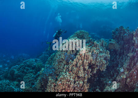 Female scuba diver, videographer records marine life in the mountainous coral reefs of the Red Sea. September, 2018. - Stock Image
