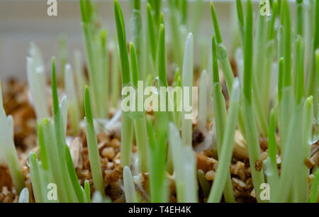 Young growing green sprouts of cat grass, Dactylis glomerata, close up - Stock Image