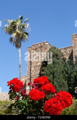 Flowers at the Medieval Alcazaba de Malaga dating from 11th century, Malaga old town, Andalusia, Spain Europe - Stock Image