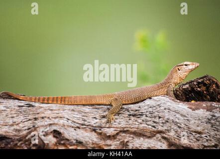 young Bengal monitor or Common Indian monitor, (Varanus bengalensis), in tree habitat, Keoladeo Ghana National Park, - Stock Image