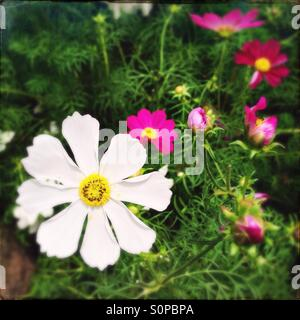 Cosmos flowers in a summer garden - Stock Image