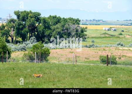 A tiger roams in his enclosure at the Wild Animal Sanctuary in Keenesburg, Colorado. - Stock Image