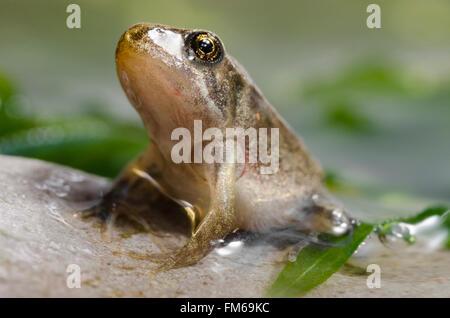 Froglet of Common Frog  Rana temporaria - Stock Image