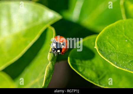 7 spotted ladybird (Coccinella septempunctata) on a green leaf - Stock Image
