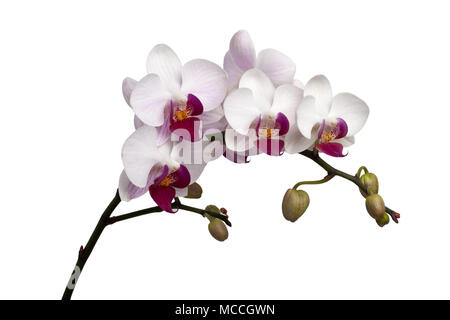 Stem of white orchids isolated on white background - Stock Image