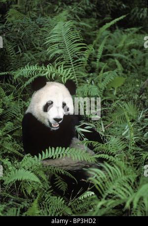 Giant panda feeds on bamboo among ferns, Wolong, China - Stock Image