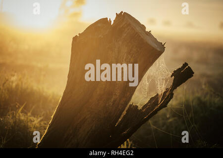 Spiderweb on tree stump in ethereal sunrise field - Stock Image