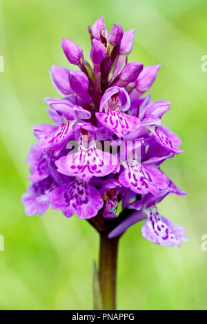 Spotted Orchid (dactylorchis fuchsii), close up of the flower head. - Stock Image