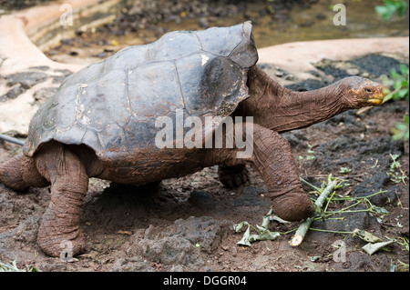 Giant tortoise at Darwin Research Center Galapagos Islands - Stock Image