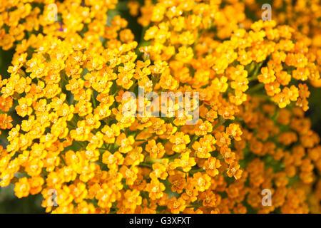 Yellow Yarrow - Stock Image