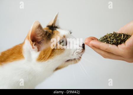 Calico cat sniffing a handful of catnip - Stock Image