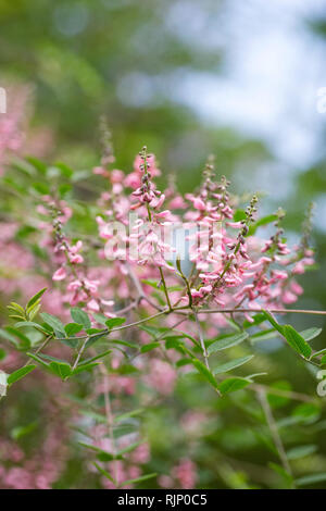 Indigofera flowers in an English garden. - Stock Image