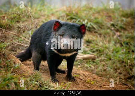 Tasmanian Devil, Tasmania Australia - Stock Image