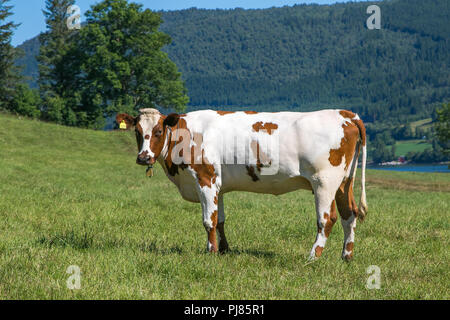 Beautiful cow grazing on a farm field in Eidsbygda, Norway. - Stock Image