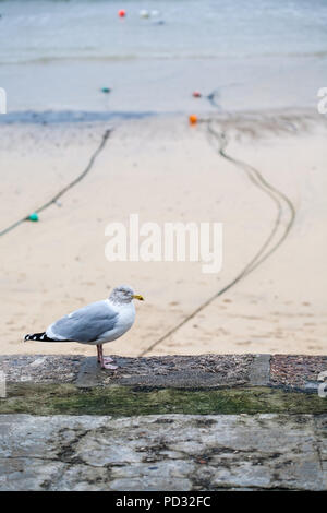 Seagull standing on wall by the seaside sandy beach with boat mooring lines and coloured bouys, St Ives, Cornwall, England, Europe. - Stock Image