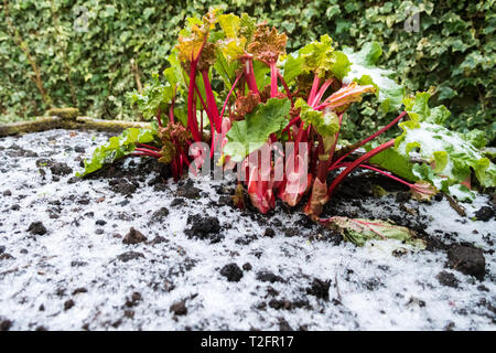 Stirlingshire, Scotland, UK. 2nd Apr, 2019. UK weather - after a lovely warm day, a sudden heavy hail shower broke over Stirlingshire in the early evening giving the bright red stalks of rhubarb a very wintery feel Credit: Kay Roxby/Alamy Live News - Stock Image