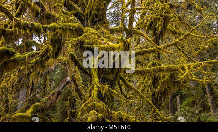 Hall of Mosses in the Hoh Rainforest at Olympic national Park, Washington, USA - Stock Image