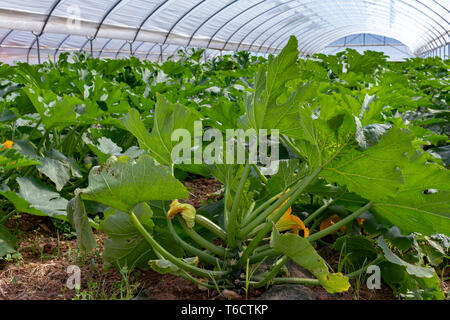 Young plants of rijpende courgette zucchini vegetables growing in greenhouse close up, agriculture in Greece - Stock Image
