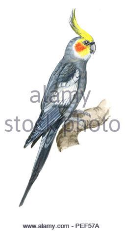 cockatiel nymphicus hollandicus - Stock Image