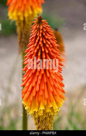 Kniphofia commonly known as the red hot poker plant - Stock Image