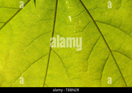 Backlit boad green leaf detail - Stock Image