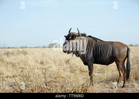Blue Wildebeest (Connochaetes taurinus) on the Savannah. Satara, Kruger Park, South Africa - Stock Image