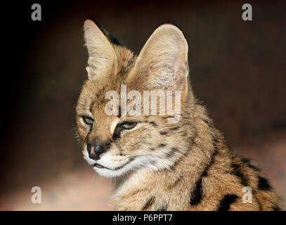 African Serval (Leptailurus serval), close-up of the head - Stock Image