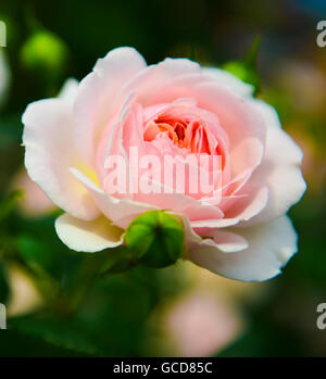 A rose in full bloom - Stock Image