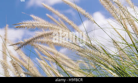 Flowering grass during on the morning. - Stock Image