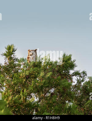 An adult female Great Horned Owl, Bubo virginianus, perched on an eastern redcedar tree, juniperus virginiana, in Oklahoma, USA. - Stock Image